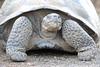 Giant_Tortoise_0086