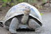 Giant_Tortoise_0089