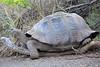 Giant_Tortoise_0079