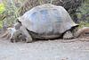Giant_Tortoise_0080