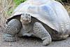 Giant_Tortoise_0083