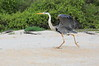 Great_Blue_Heron__0002