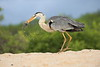Heron Eating Turtle