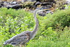 Great_Blue_Heron__0021
