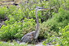 Great_Blue_Heron__0033