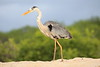 Great_Blue_Heron__0008