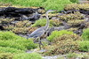 Great_Blue_Heron__0023