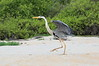 Great_Blue_Heron__0004