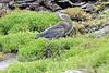 Great_Blue_Heron__0027