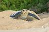 Green_Turtle_0058