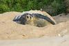 Green_Turtle_0053
