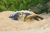 Green_Turtle_0059