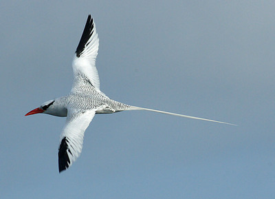 Tropicbird, Red-billed DSC02068ed