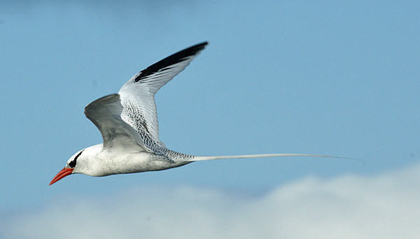 Tropicbird, Red-billed DSC02071ed