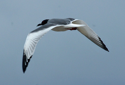 Gull, Swallow-tailed flight DSC01467ed