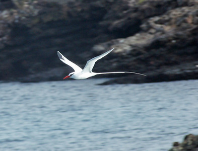 Tropicbird, Red-billed DSC02128ed