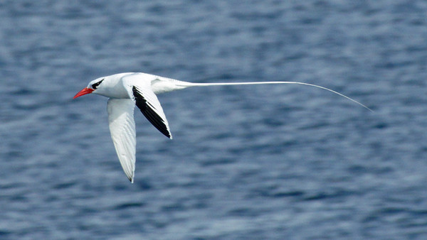 Tropicbird, Red-billed DSC02129ed