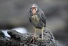 Lava_Heron__0022