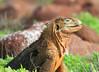 Land Iguana Galapagos