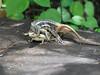 Lava Lizard-6