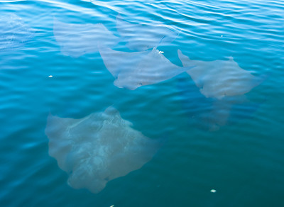 A school of golden rays, also called cow-nosed rays