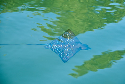 A young spotted eagle ray