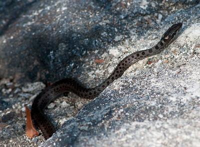 Galapagos snake