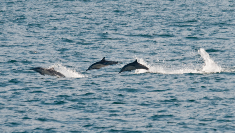 Dolphins, the bad-boys of the sea