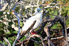 Red_Footed_Booby_0001