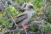 Red_Footed_Booby_0002
