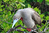 Red-footed Booby Galapagos