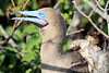 Red_Footed_Booby_0005