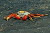SallylightfootCrab (15)