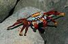SallylightfootCrab (2)