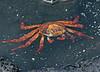 SallylightfootCrab (8)