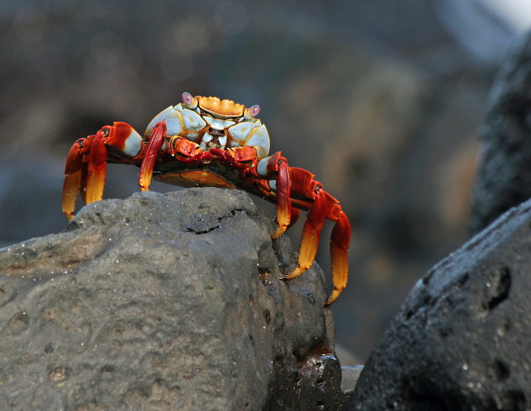 SallylightfootCrab (1)