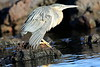 Striated_Heron__0027