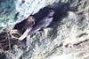 Nesting_Swift__0028