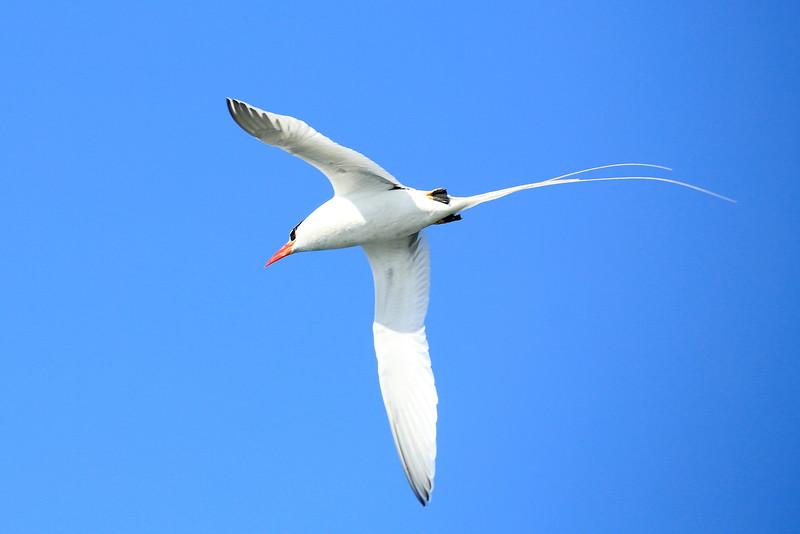 TropicBird_0052