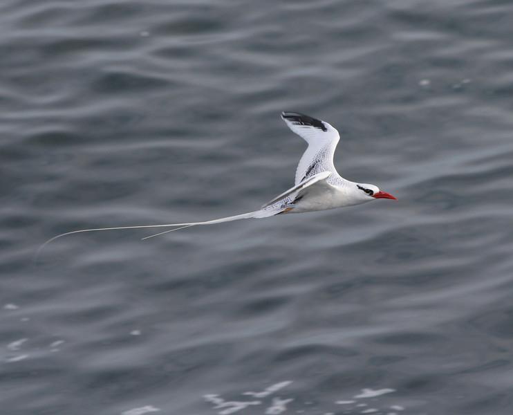 RedBilledTropicbird (4)