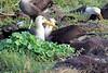 Waved_Albatross_0021