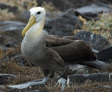 Albatross, Waved adult DSC01555ed