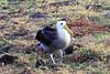 Waved_Albatross_0028