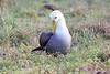 Waved_Albatross_0008