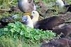 Waved_Albatross_0020