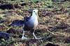 Waved_Albatross_0027