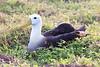 Waved_Albatross_0002