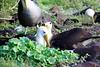 Waved_Albatross_0023