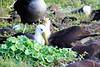 Waved_Albatross_0024