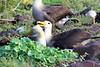 Waved_Albatross_0018